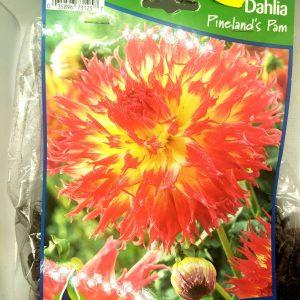 Dahlia - Pineland's Pam