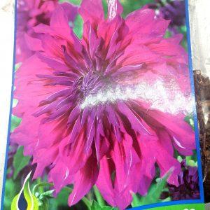 Dahlia - Purple Taiheijo